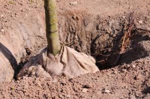 plantation-arbre-motte grillagée-vertdegris-4