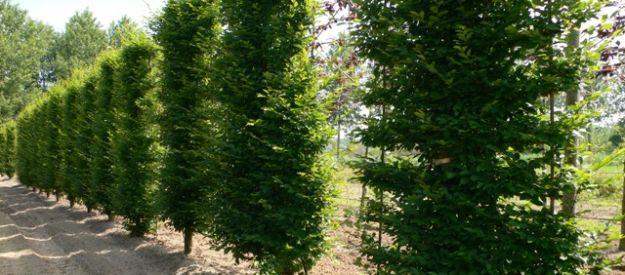 vert de gris plantation d arbres plantation tilleul paliss verviers spa dolhain. Black Bedroom Furniture Sets. Home Design Ideas
